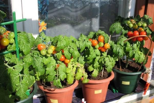 Выращивание помидоров на балконе: как правильно вырастить томаты черри