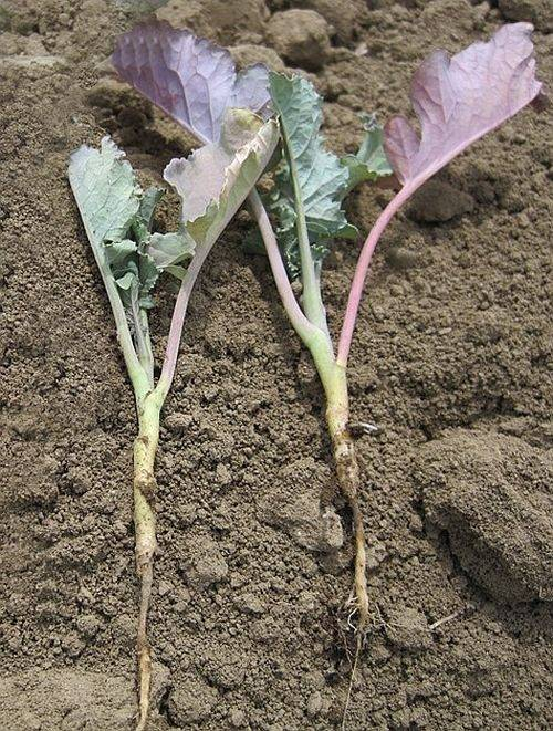 Причины фиолетовых листьев у капусты