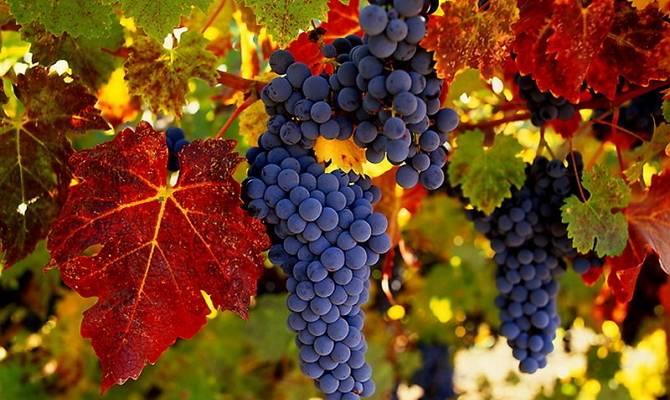 Виноград декабрьский — сорт длительного хранения