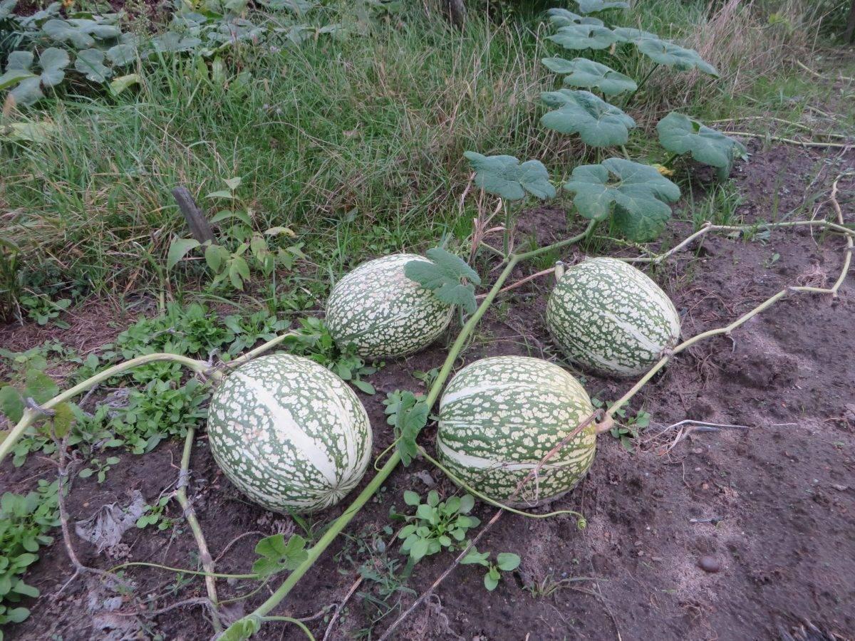 Фицефалия: фото, видео, описание, как вырастить фиголистную тыкву