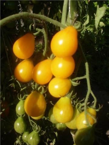 Описание и характеристика сорта томата медовая капля