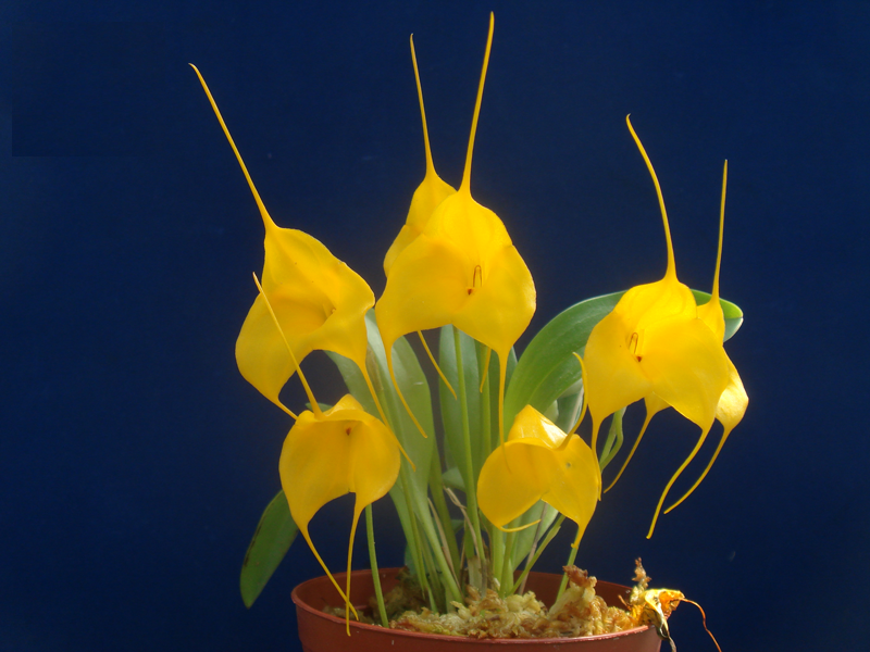 Цветок дендробиум: описание, уход в домашних условиях, размножение, фото - sadovnikam.ru