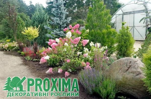 Гортензия фрайз мельба (hydrangea paniculata fraise melba)