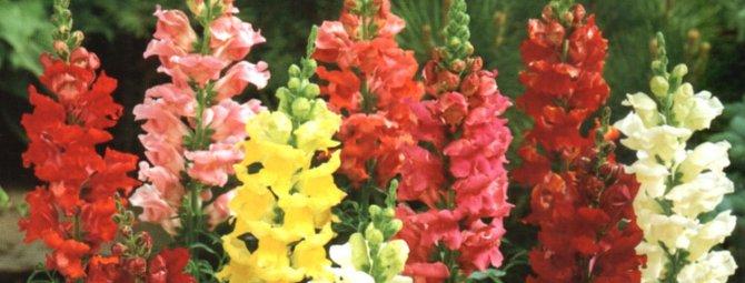 Львиный зев - особенности выращивания цветка и уход за ним
