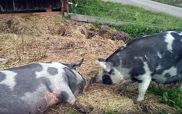 Миргородская порода свиней - характеристика породы, описание с фото, где купить породу | россельхоз.рф