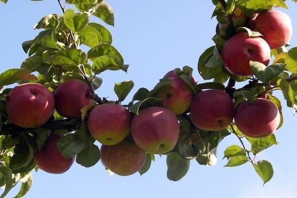 Сорт яблони подарок графскому – описание, фото