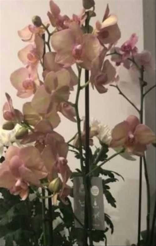 Фаленопсис биг лип. все о разновидности орхидеи: описание сортов с фото