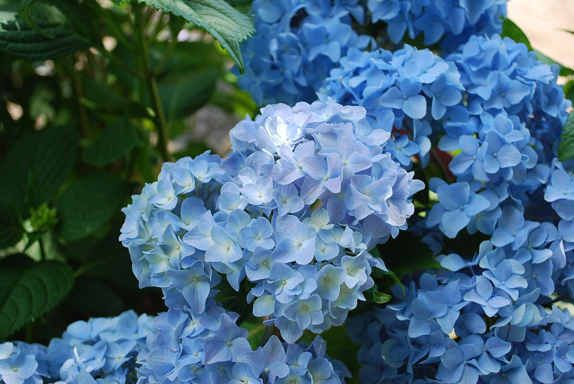 Гортензия метельчатая — краса партийных дач: посадка, уход и выращивание