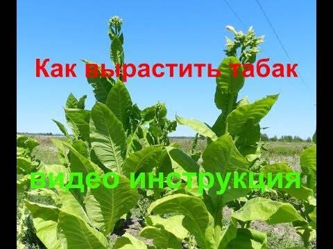 Выращивание табака на огороде для курения: сбор и заготовка, видео