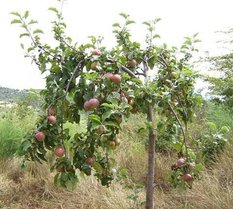 Почему яблоня цветет, но не плодоносит? причины и решения. фото — ботаничка.ru