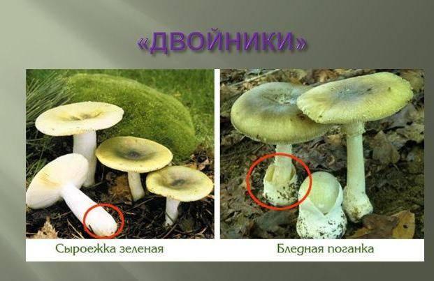 Cыроежки съедобные и несъедобные: фото и описание, как их готовить и отличать от похожих грибов.