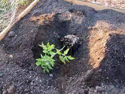 Что положить (кладут) в лунку при посадке томатов в теплицу
