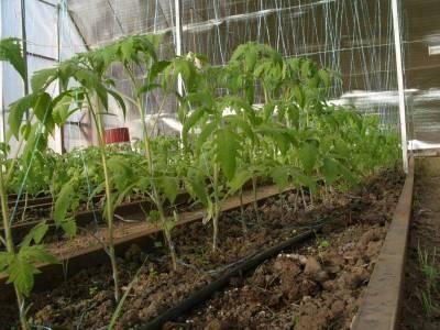 Минимальная температура для высадки поликарбоната, при какой температуре высаживают помидор в теплицу