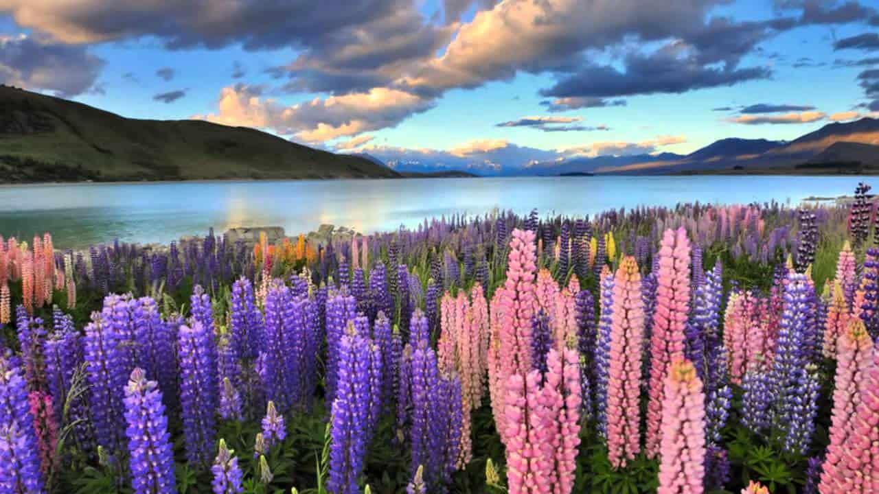 Люпины - 83 фото красивого растения из семейства бобовых