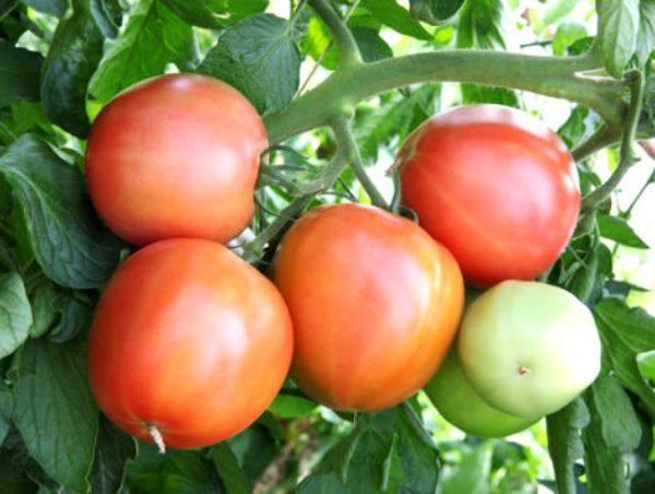 Томат малиновка яблочная отзывы фото урожайность