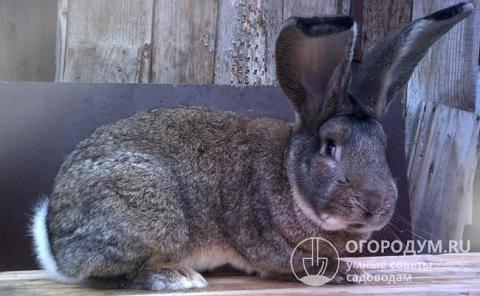 Кролики породы ризен: описание, характеристика