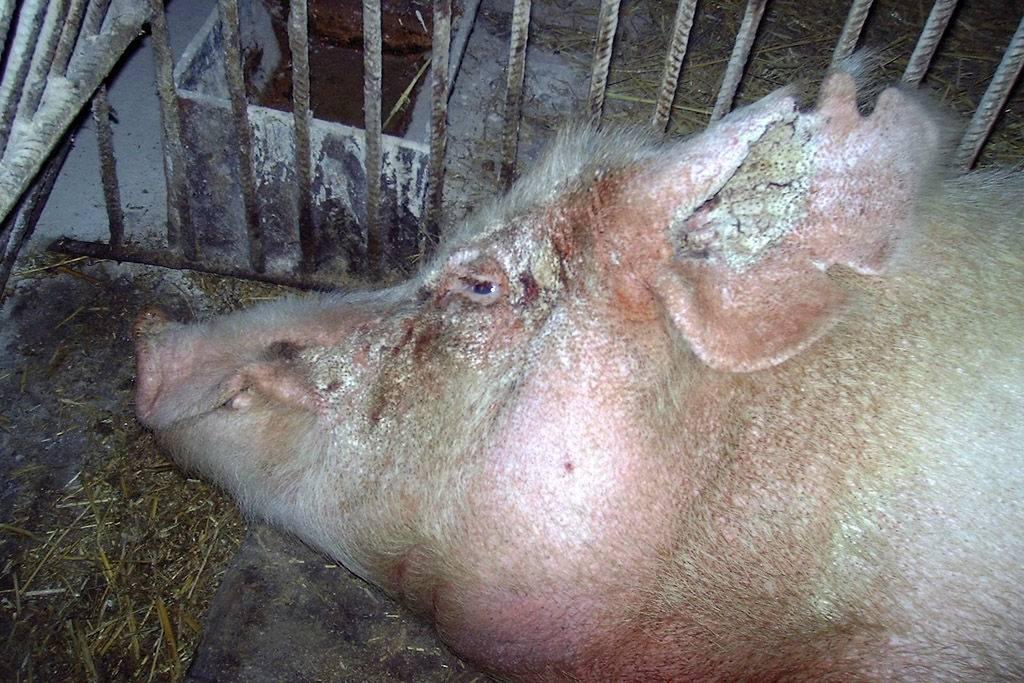 Забой свиней в домашних условиях