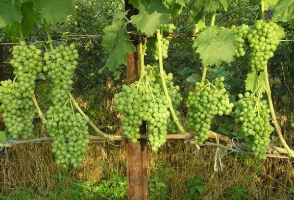 Виноград элегант сверхранний описание сорта, фото и отзывы