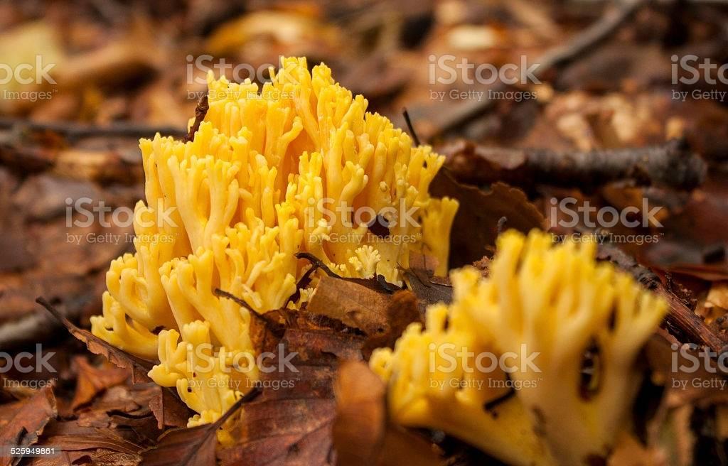 Особенности кораллового гриба
