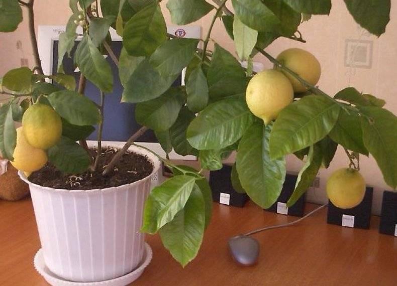 Узбекский (ташкентский) оранжевый лимон - чем отличается от обычного, как вырастить в домашних условиях