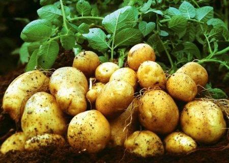 Выращиваем картофеля по митлайдеру