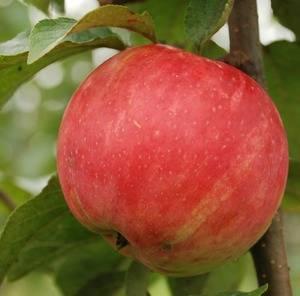 Востребованный сорт, выведенный в россии — яблони услада