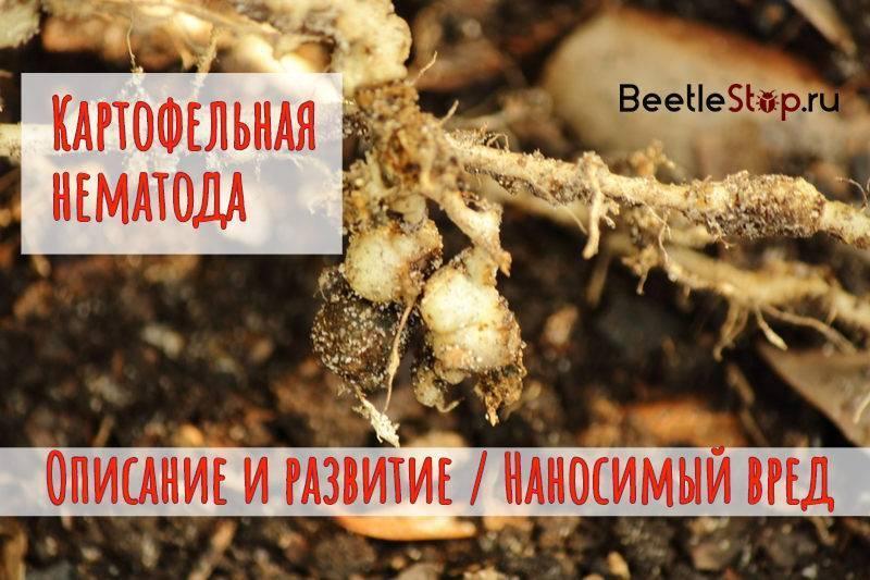 Как бороться с нематодой картофеля, ее признаки, описание и лечение