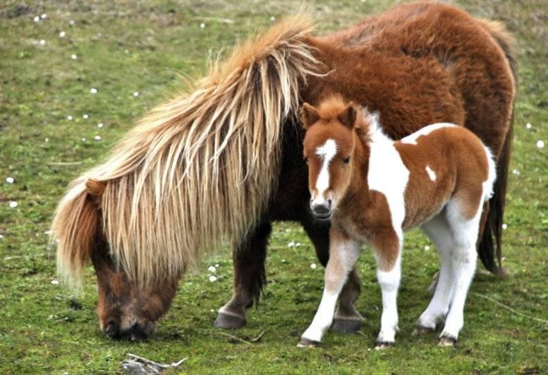 Кони пони: происхождения, уход за лошадьми, их размножение и продолжительность жизни