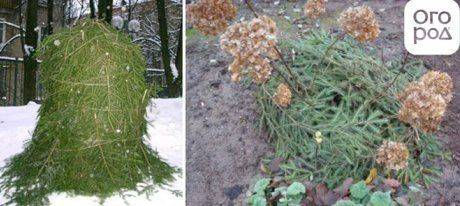 Гортензии – подготовка к зиме, укрытие осенью