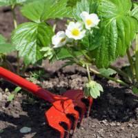 Уход за клубникой весной и осенью: выращивание клубники разными способами
