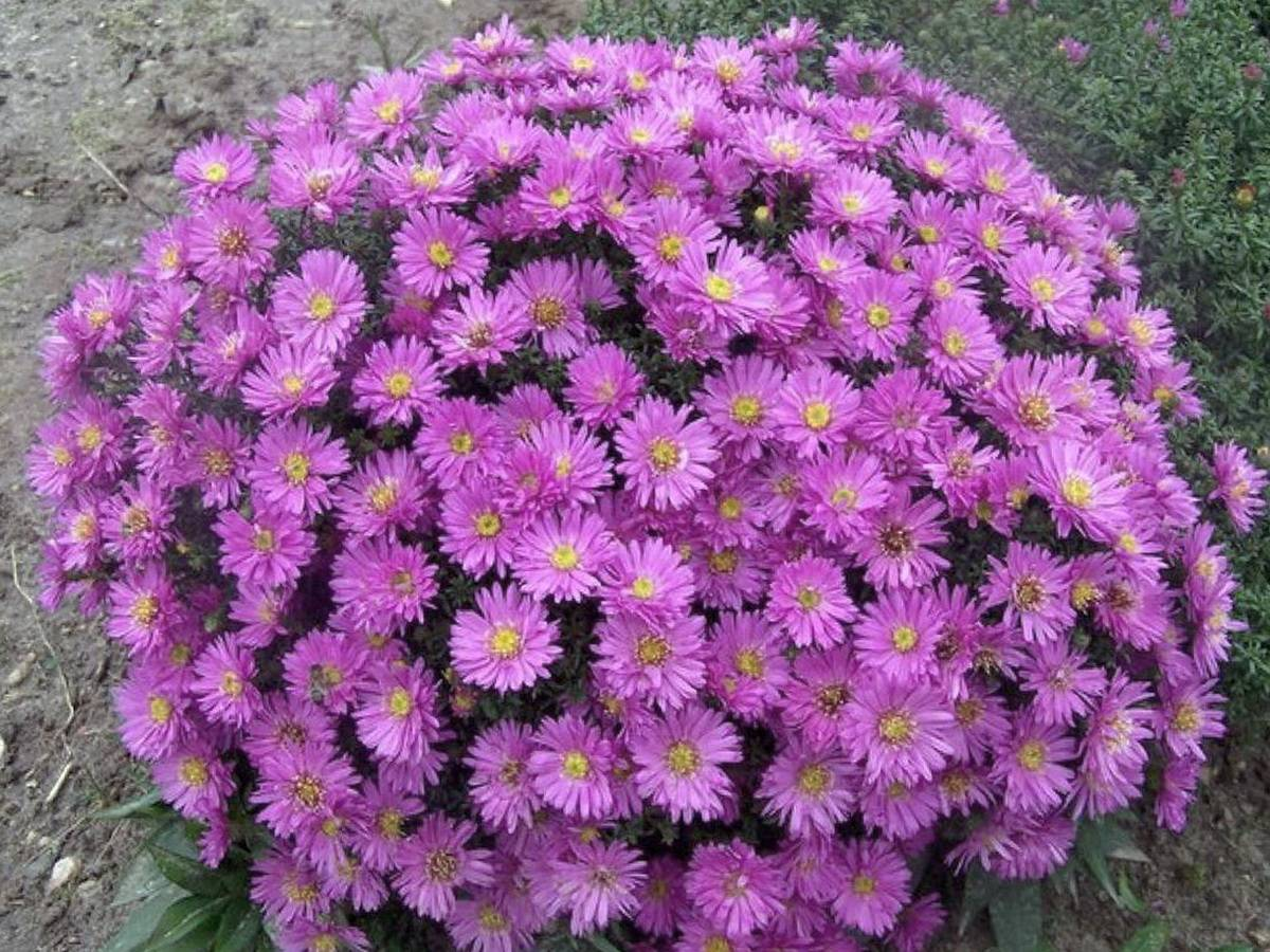✅ размножение и посадка сентябринок, уход за цветами - сад62.рф