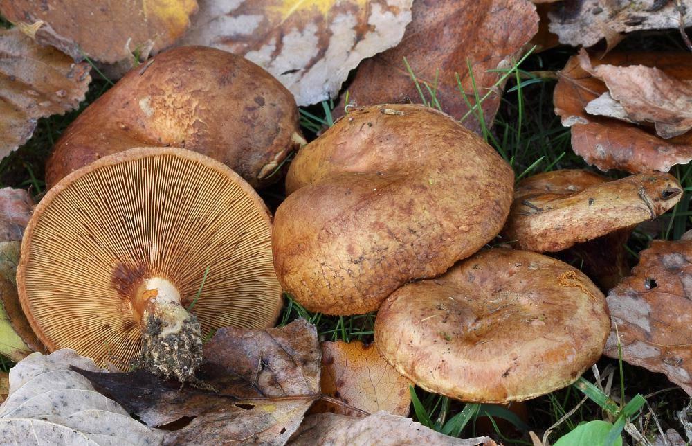 Все, что вам необходимо знать про грибы свинушки