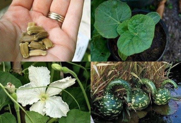 Мой опыт выращивания лагенарий.