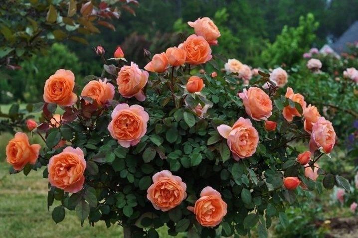 Кремовые розы (26 фото): описание кустовых растений, выращивание пионовидных роз темно-кремового цвета
