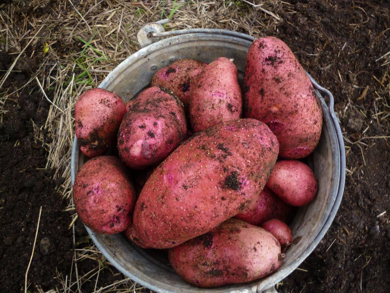 Джелли картофель – описание и фото сорта + видео