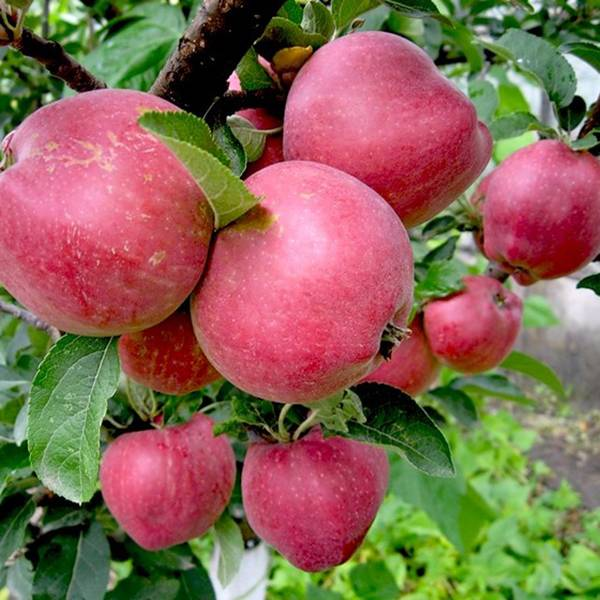 Яблоня мечта: описание сорта, посадка, уход и размножение, разновидности культуры