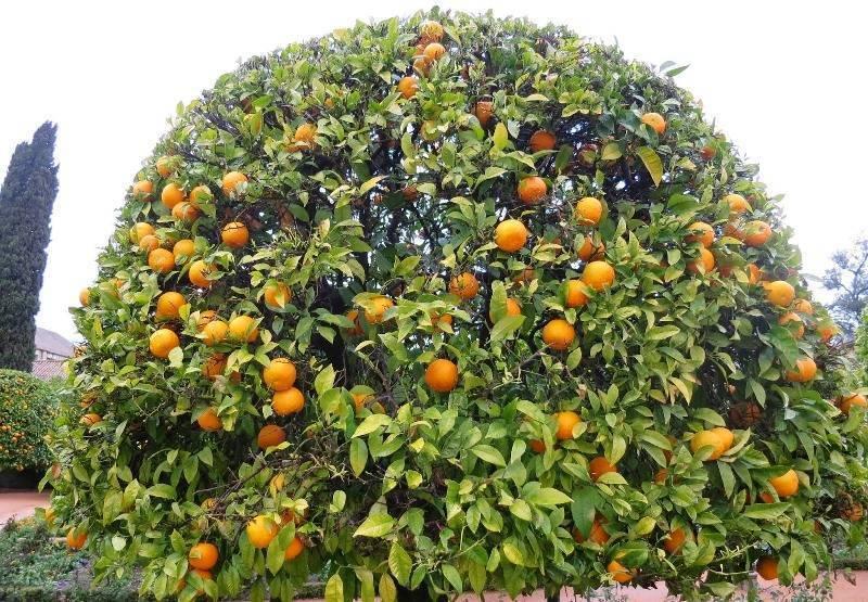 Цитрусовые фрукты: список, названия :: syl.ru