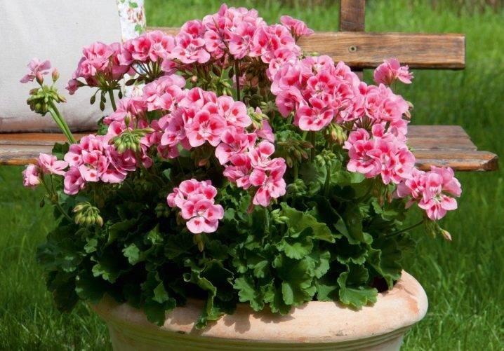 Почему не цветет герань и что делать, чтобы добиться цветения в домашних условиях