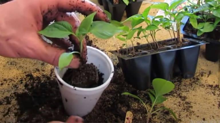 Выращивание перца в подмосковье: сроки, правила и особенности выращивания, посадка и уход, фото