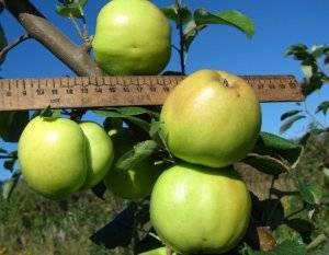Яблоня глостер: описание сорта, фото, отзывы садоводов