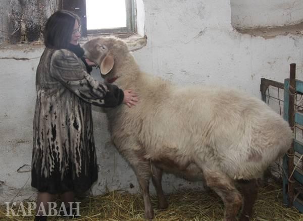 О курдючном баране: описание, уход и разведение овец курдючной породы