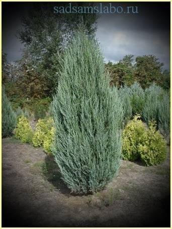 Можжевельник виргинский 'скайрокет', описание, фото, условия выращивания, уход