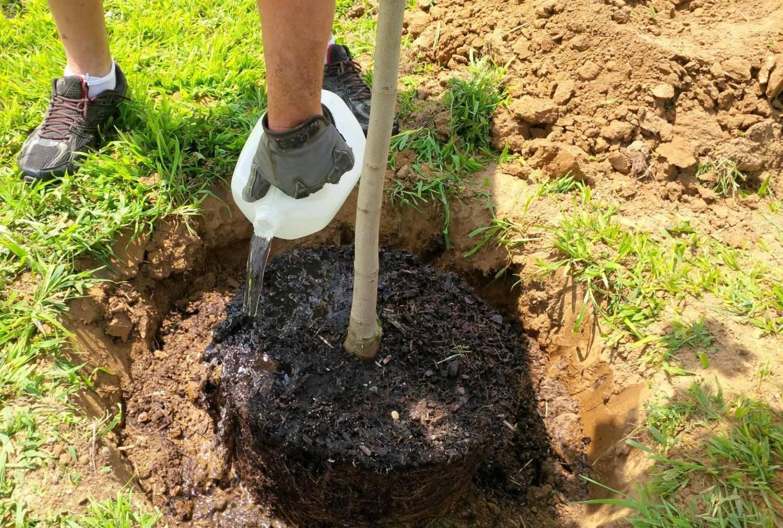 Основные правила посадки груши весной для начинающих