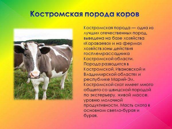 Костромская порода коров. описание, продуктивность, отзывы с фото и видео
