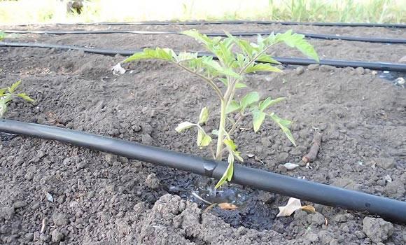 Как часто поливать помидоры в парнике - 90 фото и видео рекомендации по поливу различных сортов