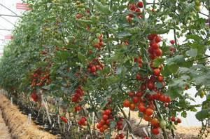 Индетерминантный сорт помидор: что это, отличие от детерминантного, сорта