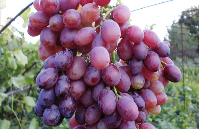Лучшие сорта винограда без косточек кишмиш - агро журнал dachnye-fei.ru