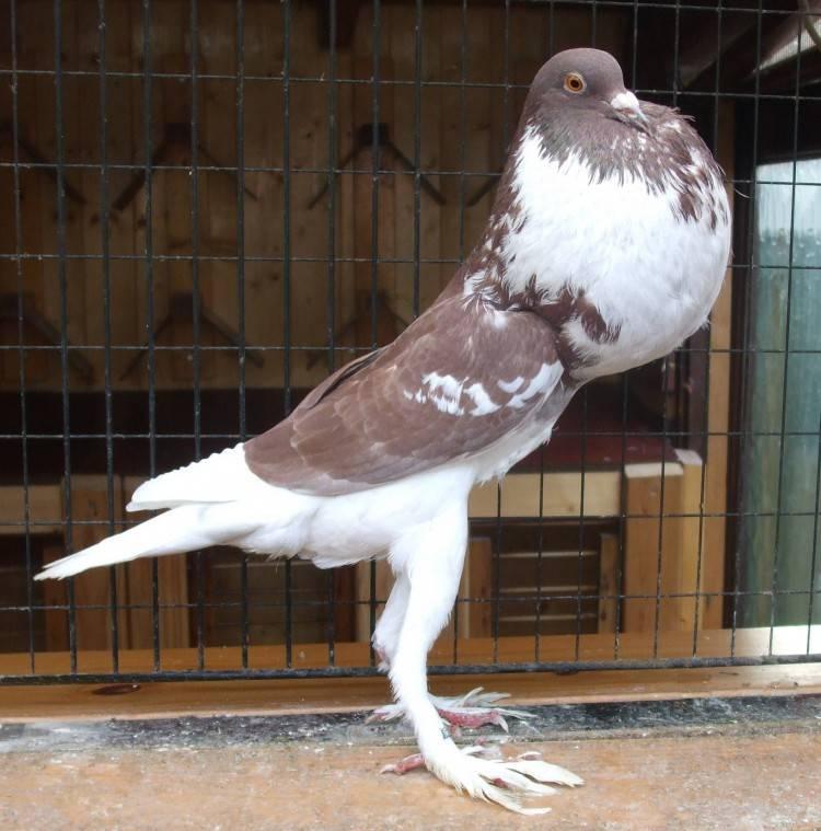 Разведение голубей: как правильно в домашних условиях