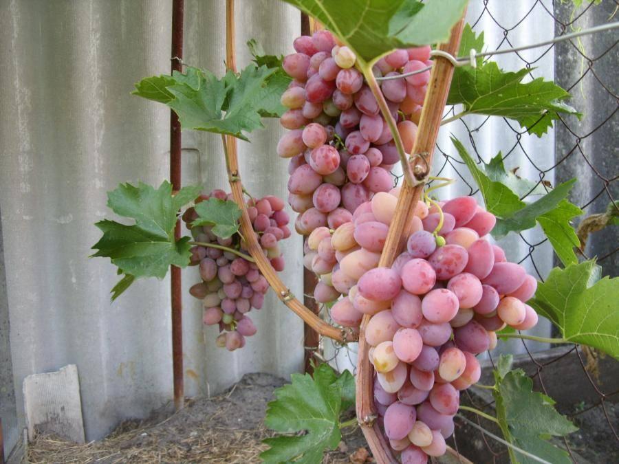 Виноград августин: описание сорта, фото, отзывы садоводов