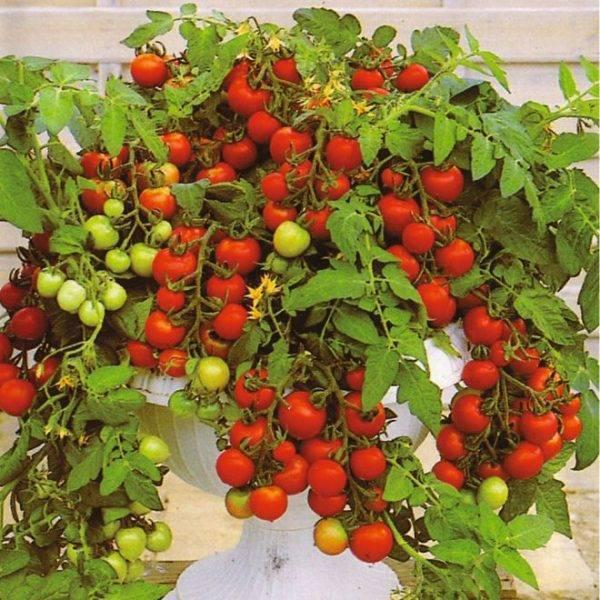 Помидоры черри на подоконнике или балконе. выращивание и уход.